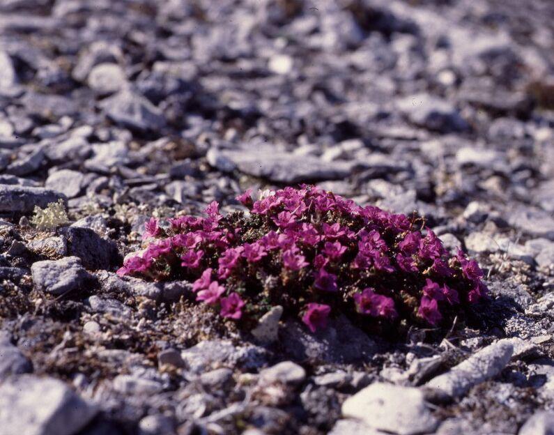 Purple-Saxafrage-best-lighting