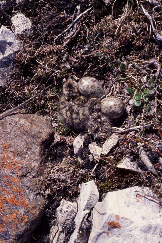 RUTU-chicks